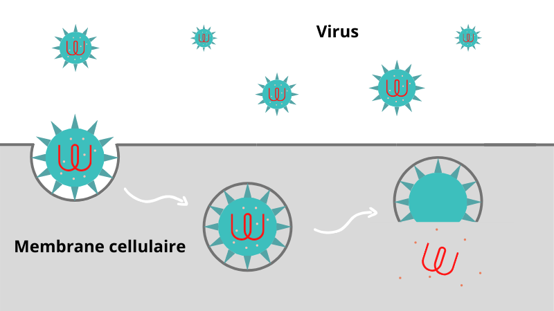 Implantation virus